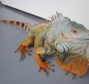 iguana.macho.adulta.300