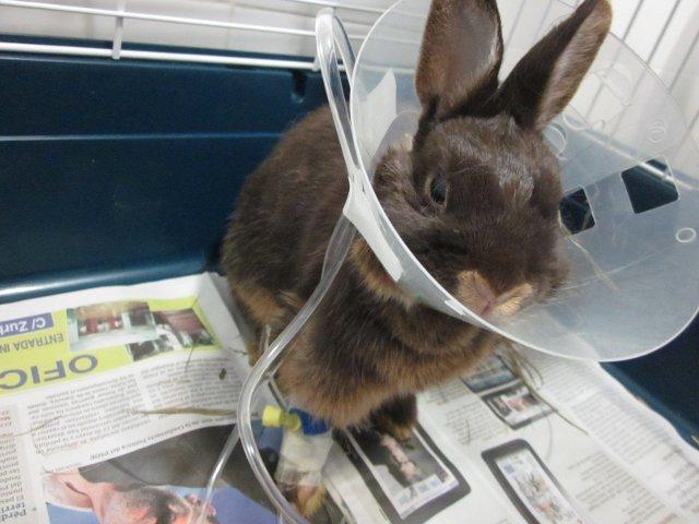 Conejo ingresado. Hospital Veterinario El Arca